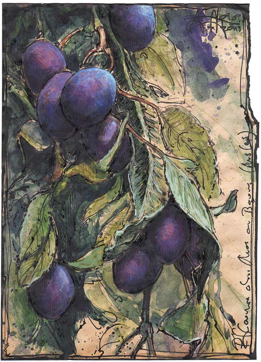 Plums without mus on the tree